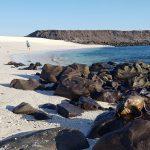 Søløve + strandløvinder