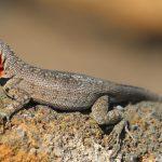 Lava Lizard - hun