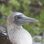 Blåfodet sule - blue-footed booby