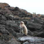 Galápagos pingvin