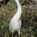 Great White Egret - silkehejre
