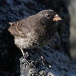 Small Ground Finch