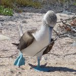 Blue-footed Booby dancing