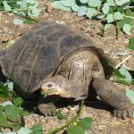 Kæmpe landskildpadde