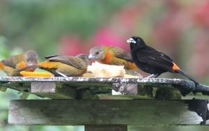 Passerinis Tanagers (hannen er den farvestrålende)