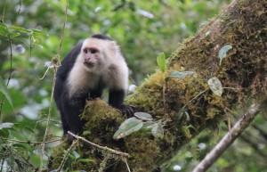 Kapuciner abe