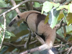 Collared Anteater, Tamandua mexicana