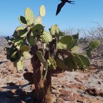 Opuntia med fregatfugl