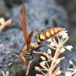 Galapagos hveps