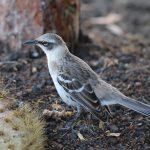 Mockingbird - Spottedrossel