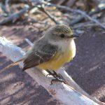Yellow Warbler (en sanger)
