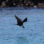 Fregatfugle dyk