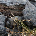 Mollugo - en lava pioner plante
