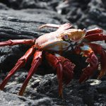 Sally Lightfoot krabbe