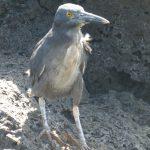 Lava heron - hejre