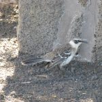 Galápagos mockingbird - Spottedrossel